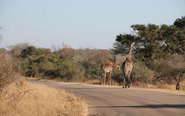Giraffen auf dem Weg