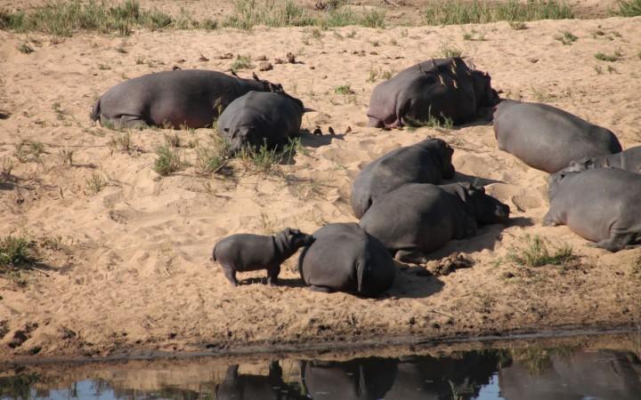 Hippos am Ufer