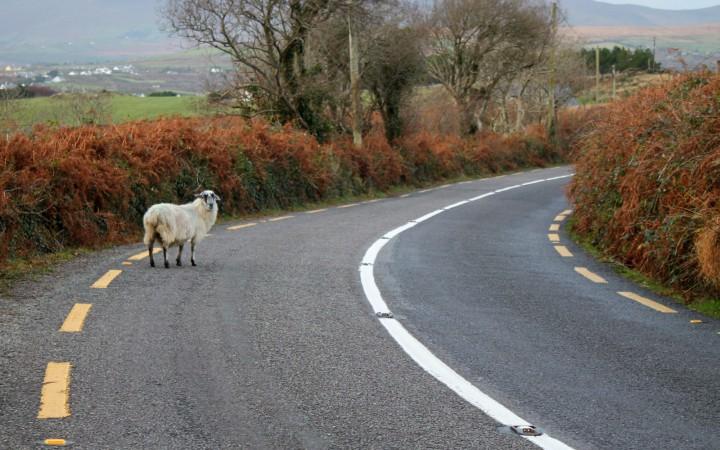 Freilaufendes Schaf auf dem Ring of Kerry