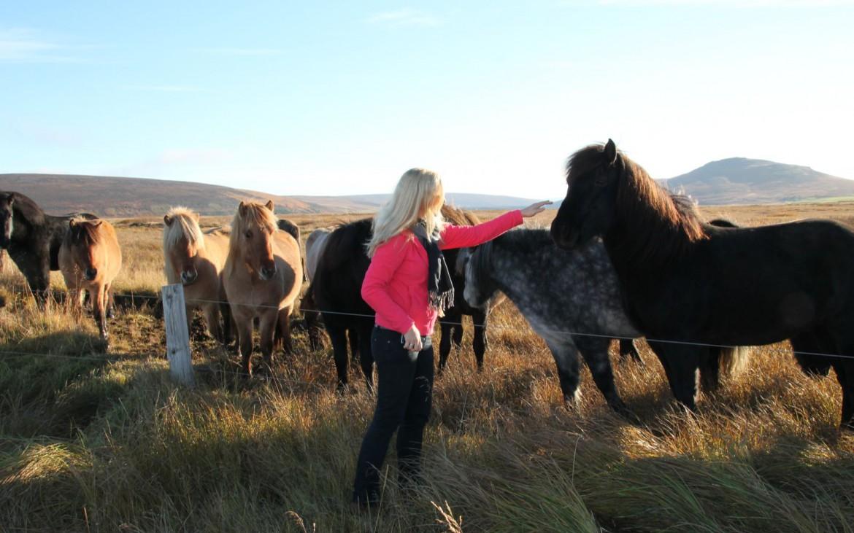Islandpferde streicheln