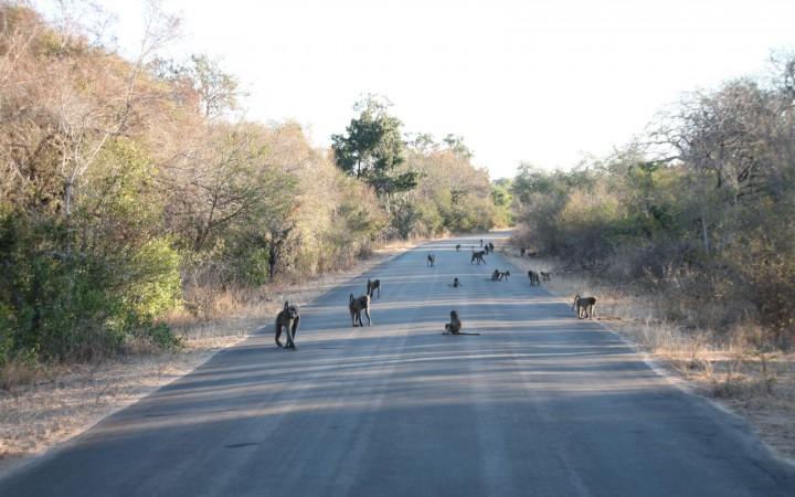 Kein Durchkommen Affen auf Strasse