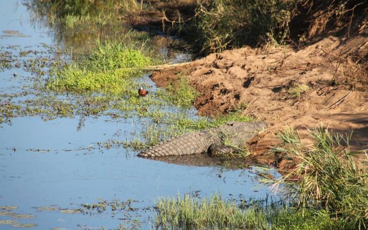 Krokodil am Crocodile Gate