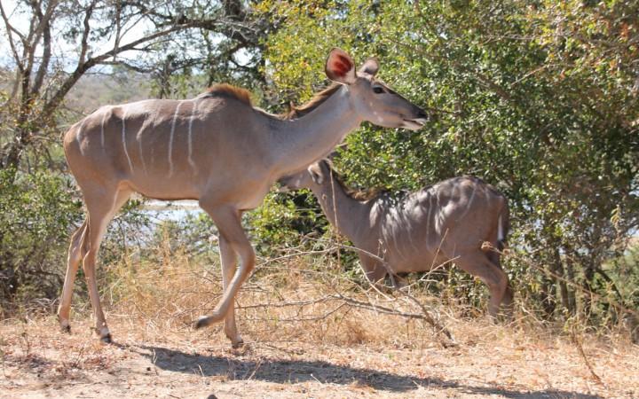 Kudu weibchen im Krüger Park