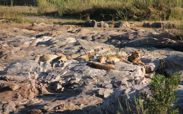 Löwen auf Flussbett