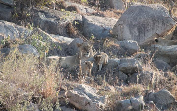 Löwenjungen beim Toben auf Felsen