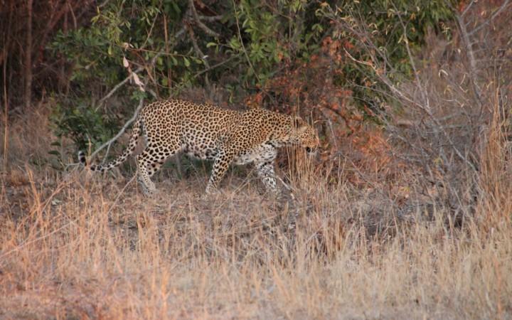 Leopard im Morgengrauen