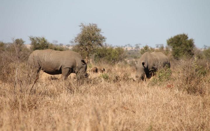 Nashörner beim Grasen
