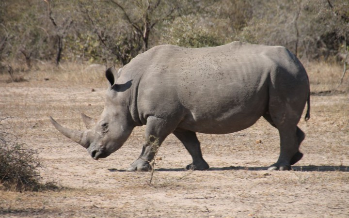White Rhino ganz nah
