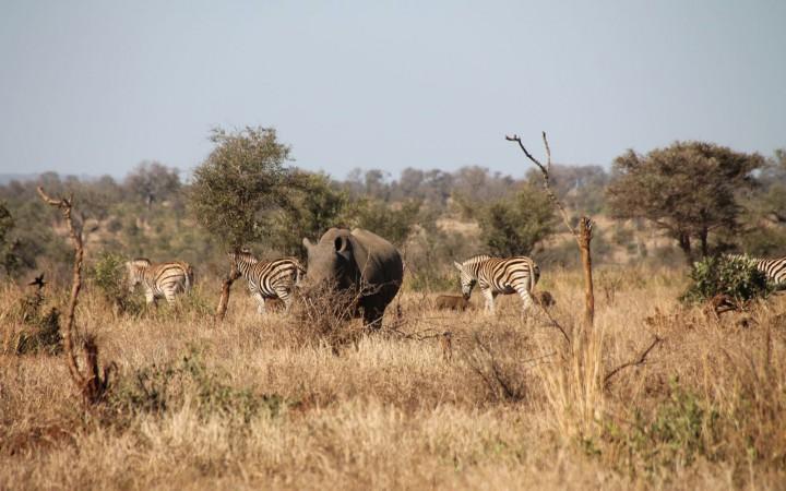 Zebras mit Nashorn White Rhino