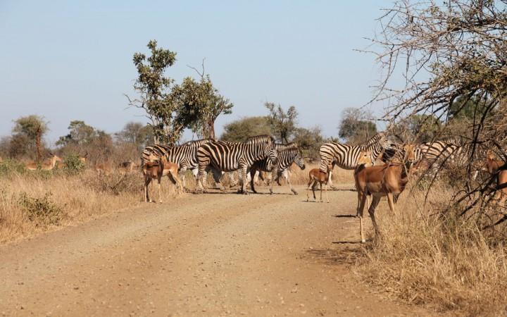 Zebras und Antilopen überqueren die Straße